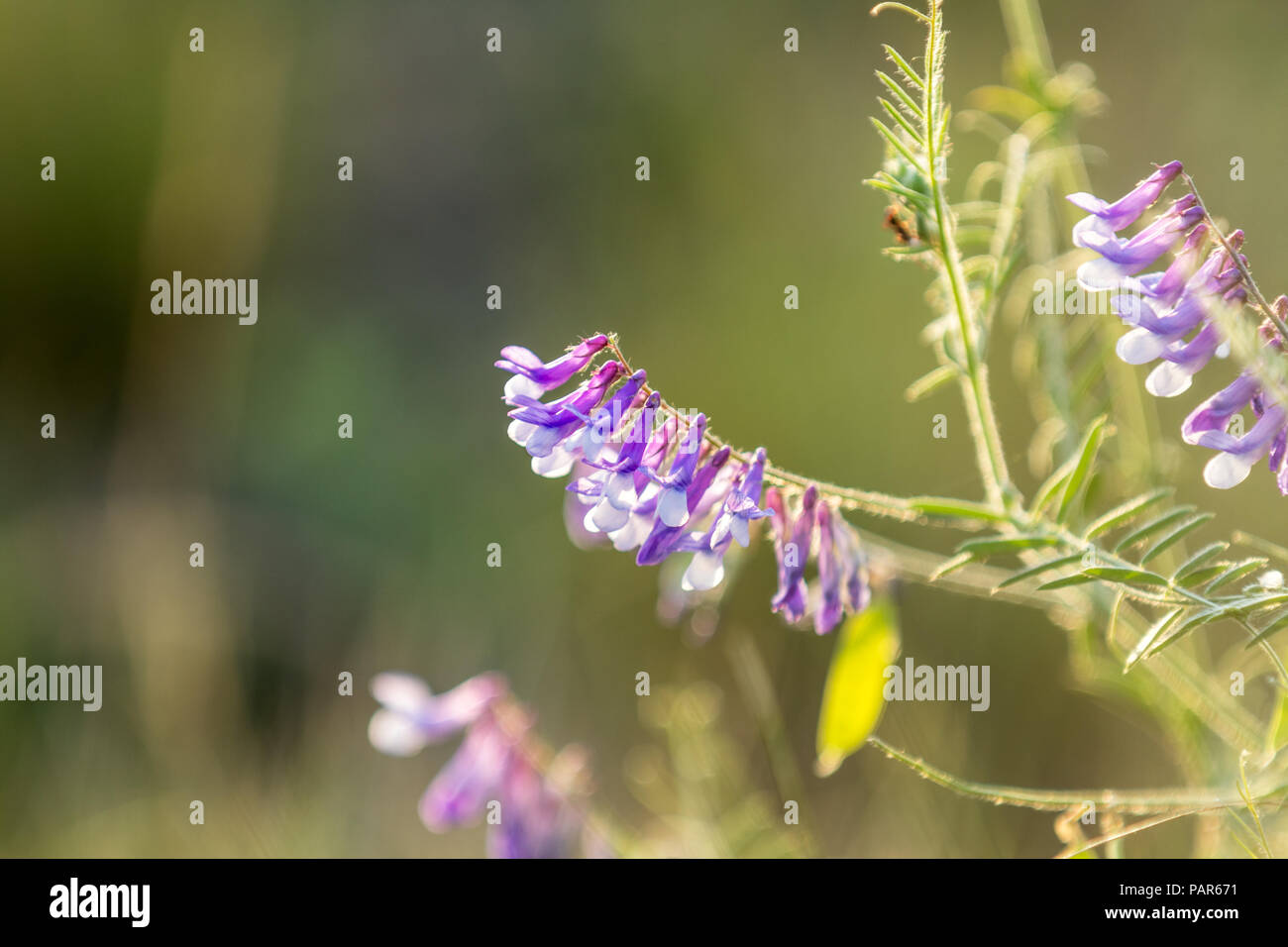 Vetch flowers close up in the field. Wild pea flowers blossom. Sunset backlight, dolly shot, shallow depth of the field, 50 fps. - Stock Image