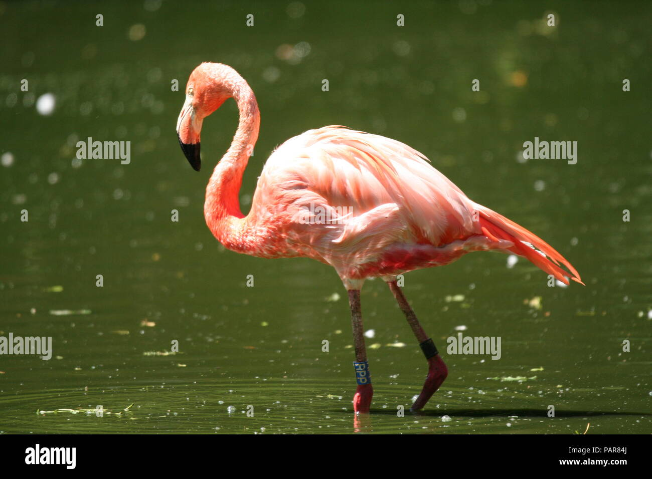 Flamingo relaxing on warm summer day at Chester zoo - Stock Image