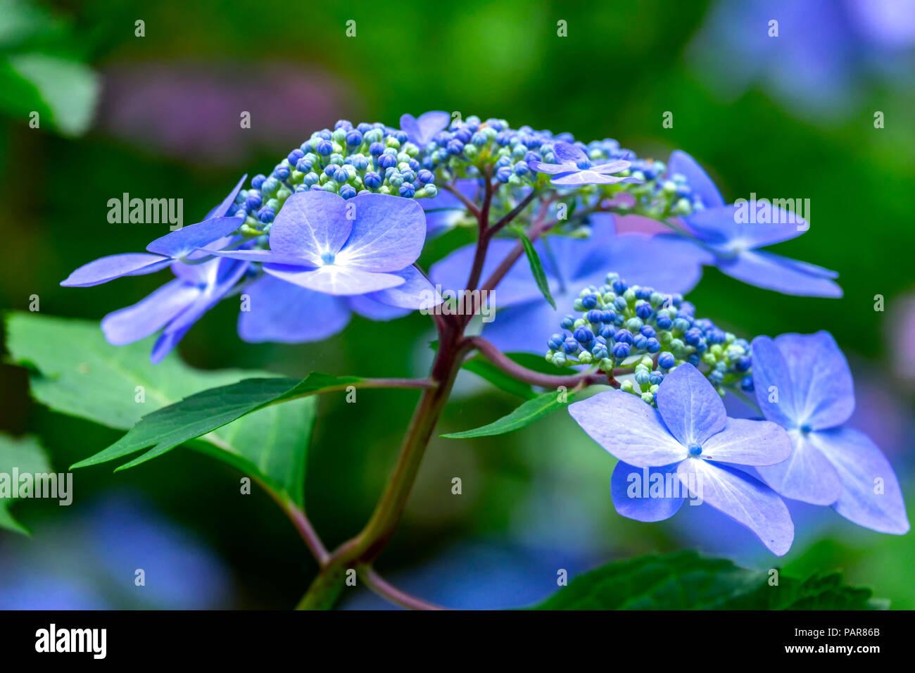 Blue mountain hydrangea (Hydrangea serrata), blossom, Germany Stock Photo