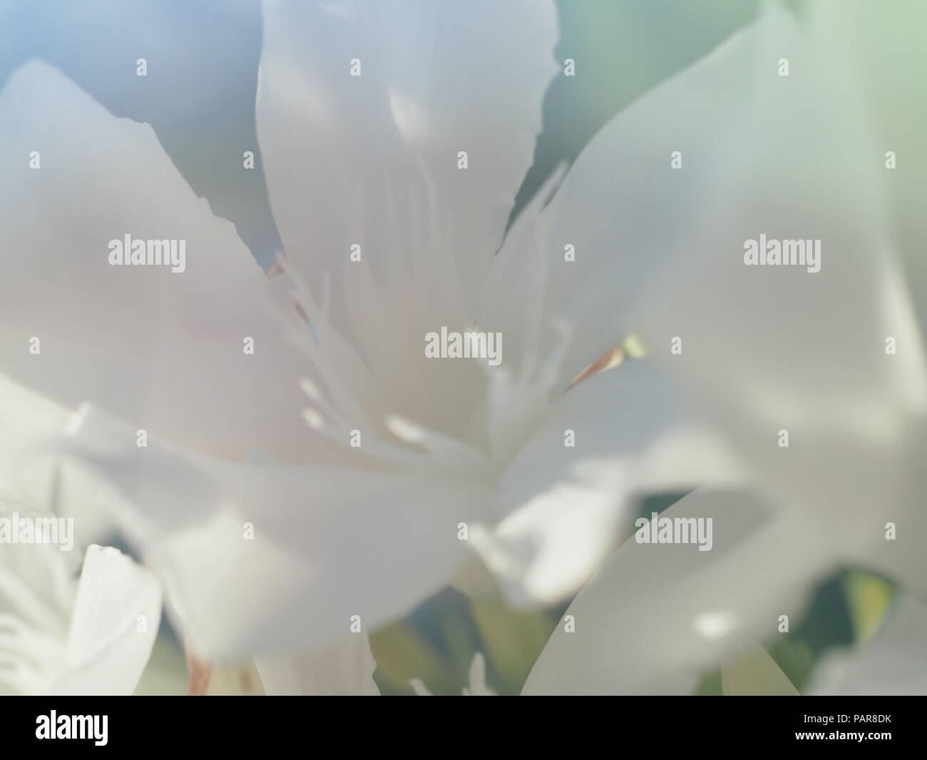 White Oleander Flower Stock Photos White Oleander Flower Stock