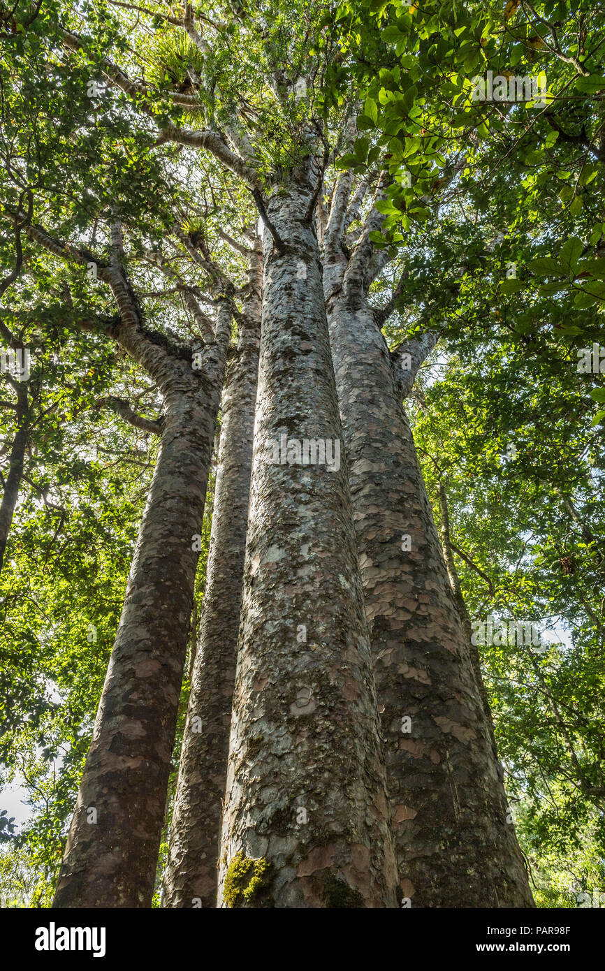 The Four Sisters, four closely spaced New Zealand Agathis australis trees (Agathis australis), Waipoua Forest, Northland - Stock Image