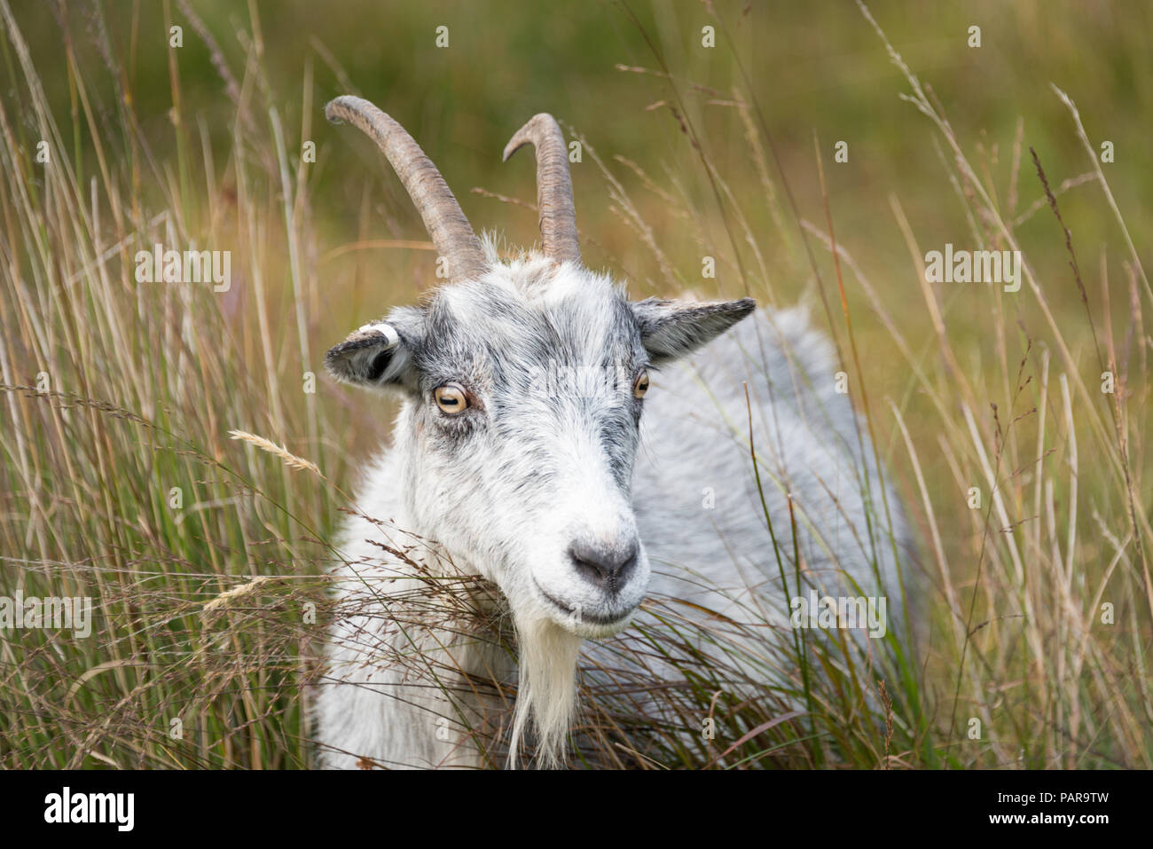 Wild goats at Galloway Forest Park, Dumfries and Galloway, Scotland - Stock Image