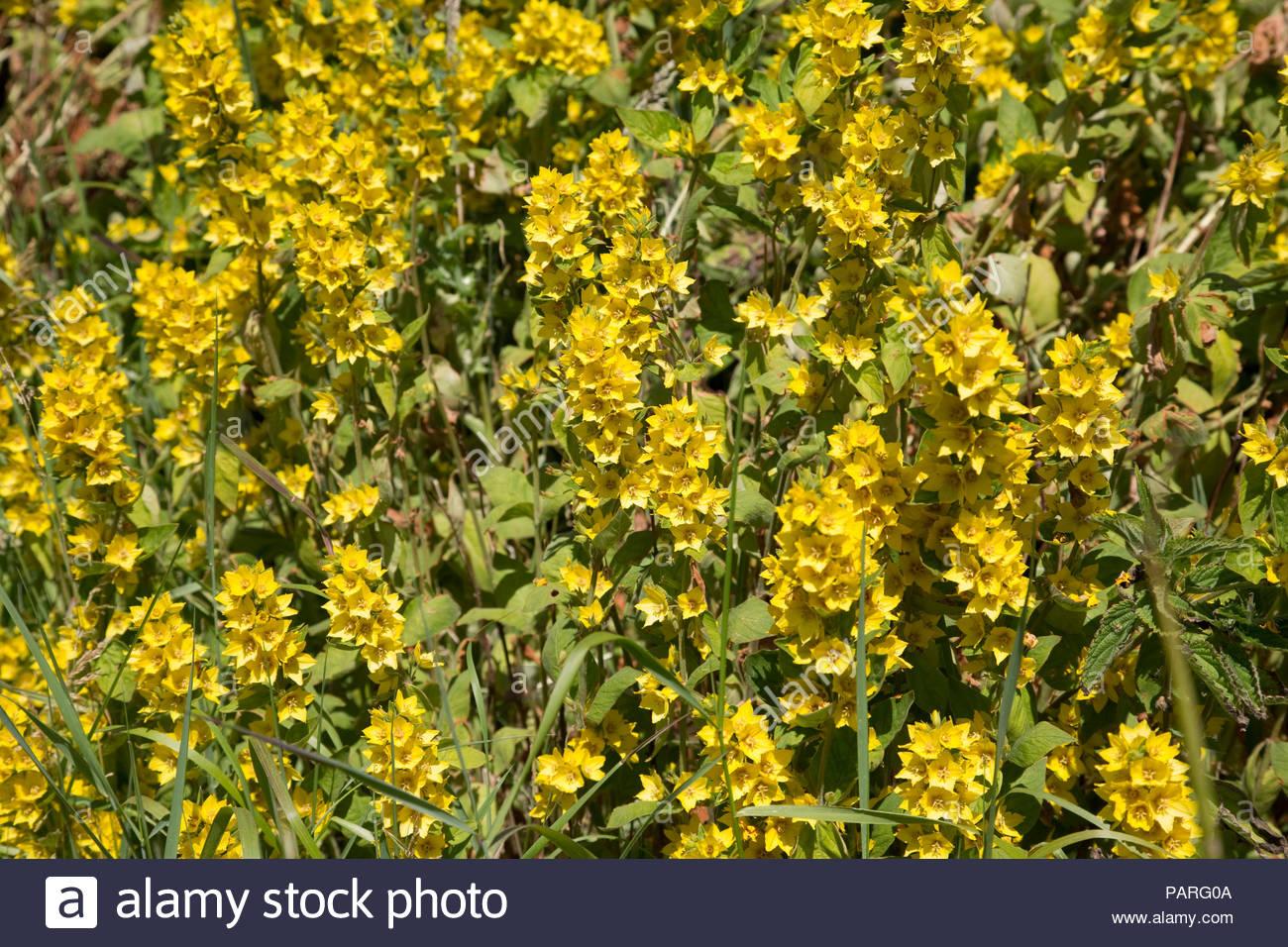 Yellow loosestrife flowers by roadside stock photo 213188426 alamy yellow loosestrife flowers by roadside mightylinksfo