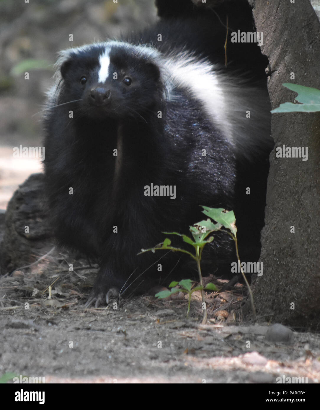 Skunk With A Cute Face And Lots Of Fluffy Fur Stock Photo 213188751