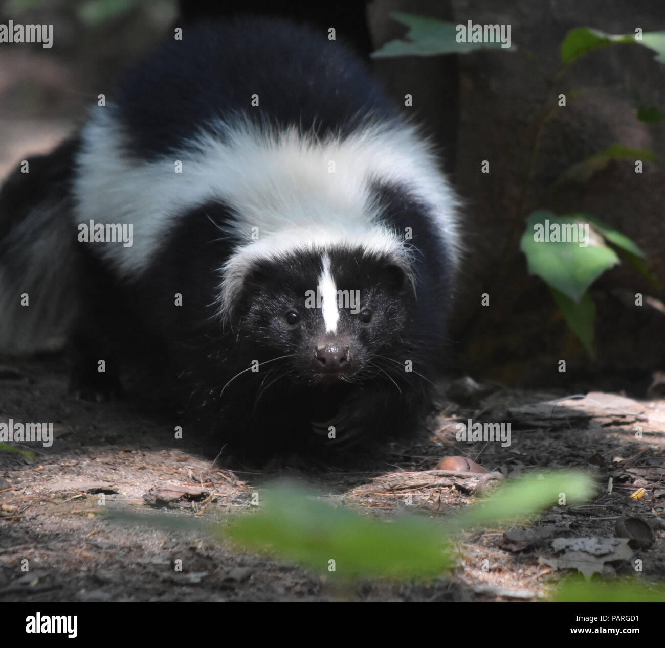 Skunk wiggling his little black nose. Stock Photo