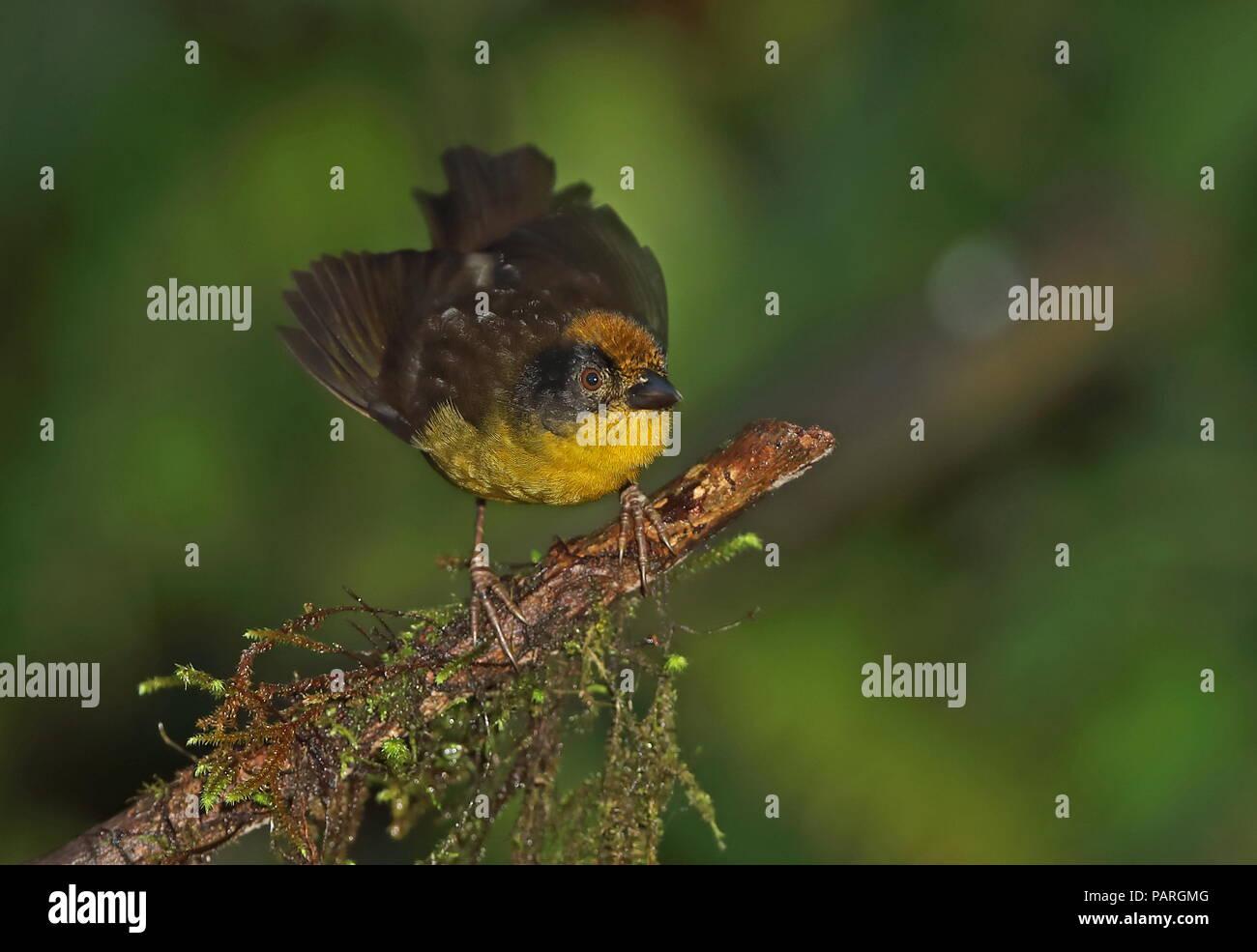 Yellow-breasted Brush-finch (Atlapetes latinuchus spodionotus) adult standing on mossy branch  Vinicio Birdwatchers House, Nono-Mindo Road. Ecuador    - Stock Image