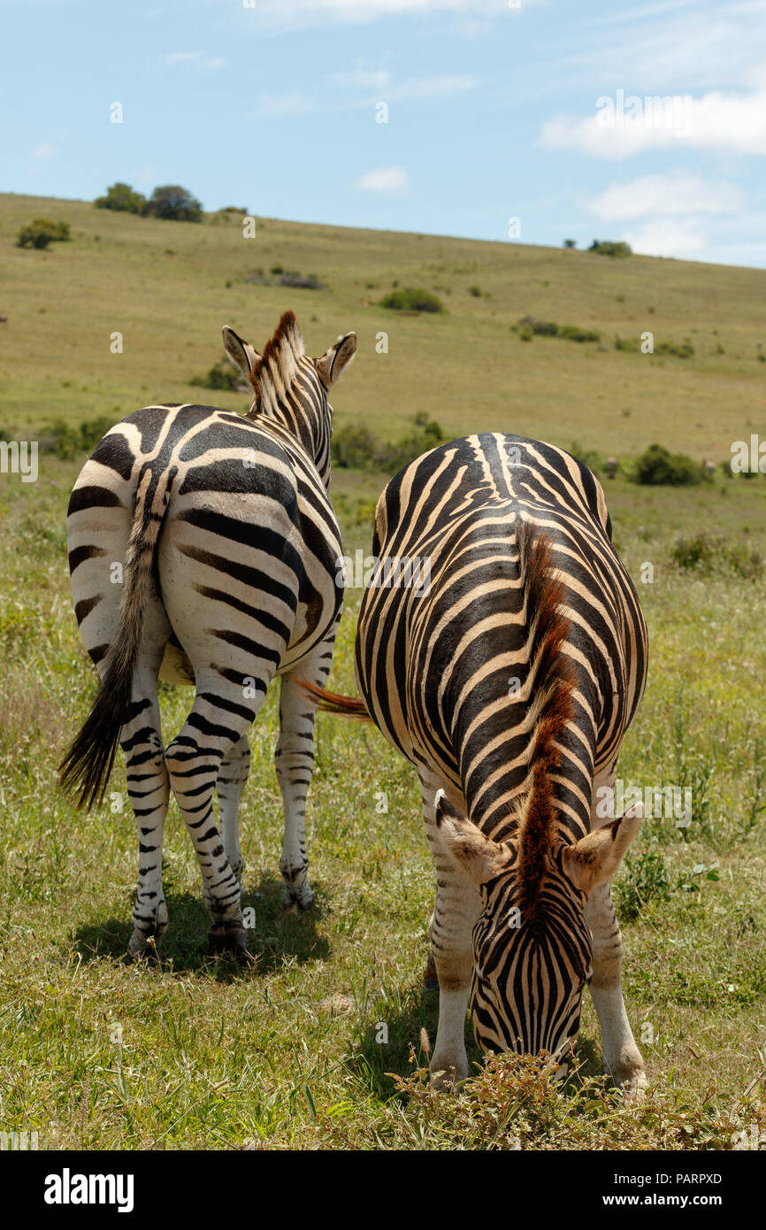 Zebras standing in the opposite directions together - Stock Image