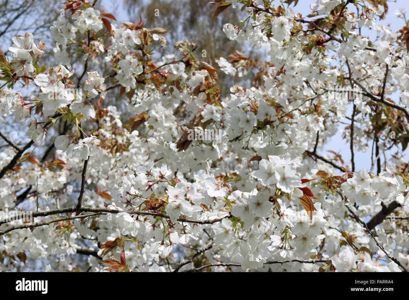 Great White Flowered Japanese Cherry Tree Prunus Serratula Variety