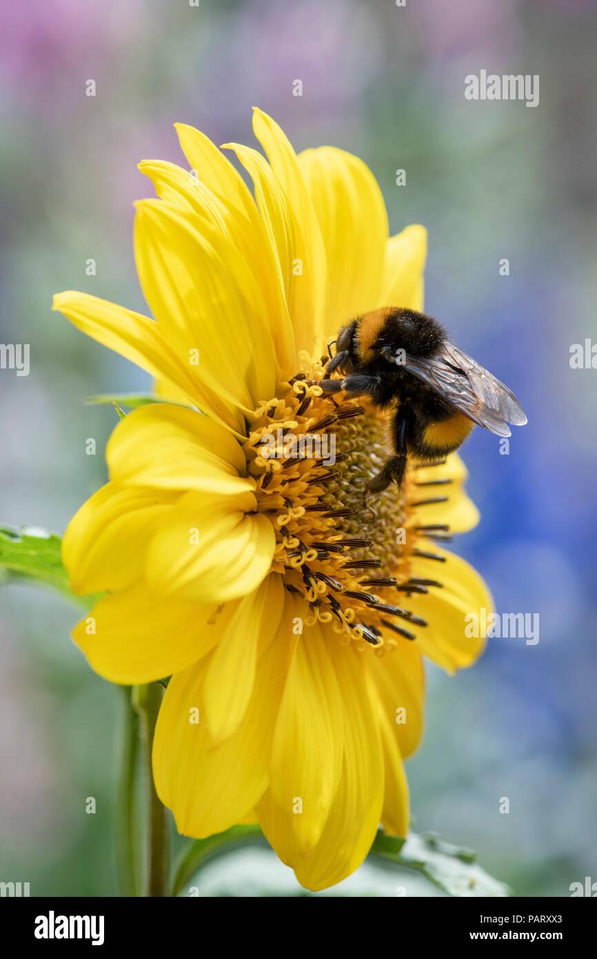 Bombus lucorum. Bumblebee on helianthus flying saucers flower. Bee on sunflower - Stock Image