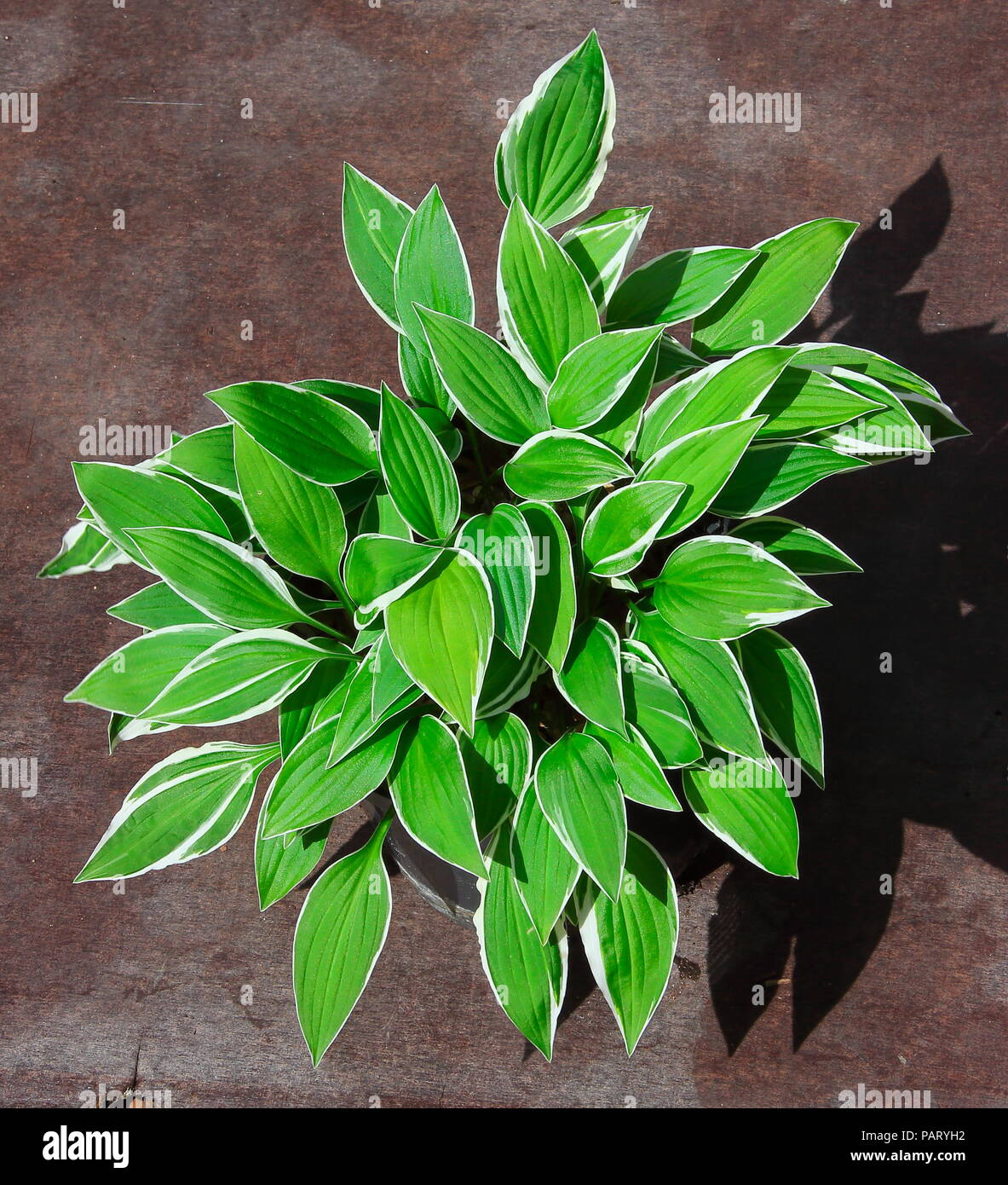 Hosta Plant Named Fresh And If Part Of The British National
