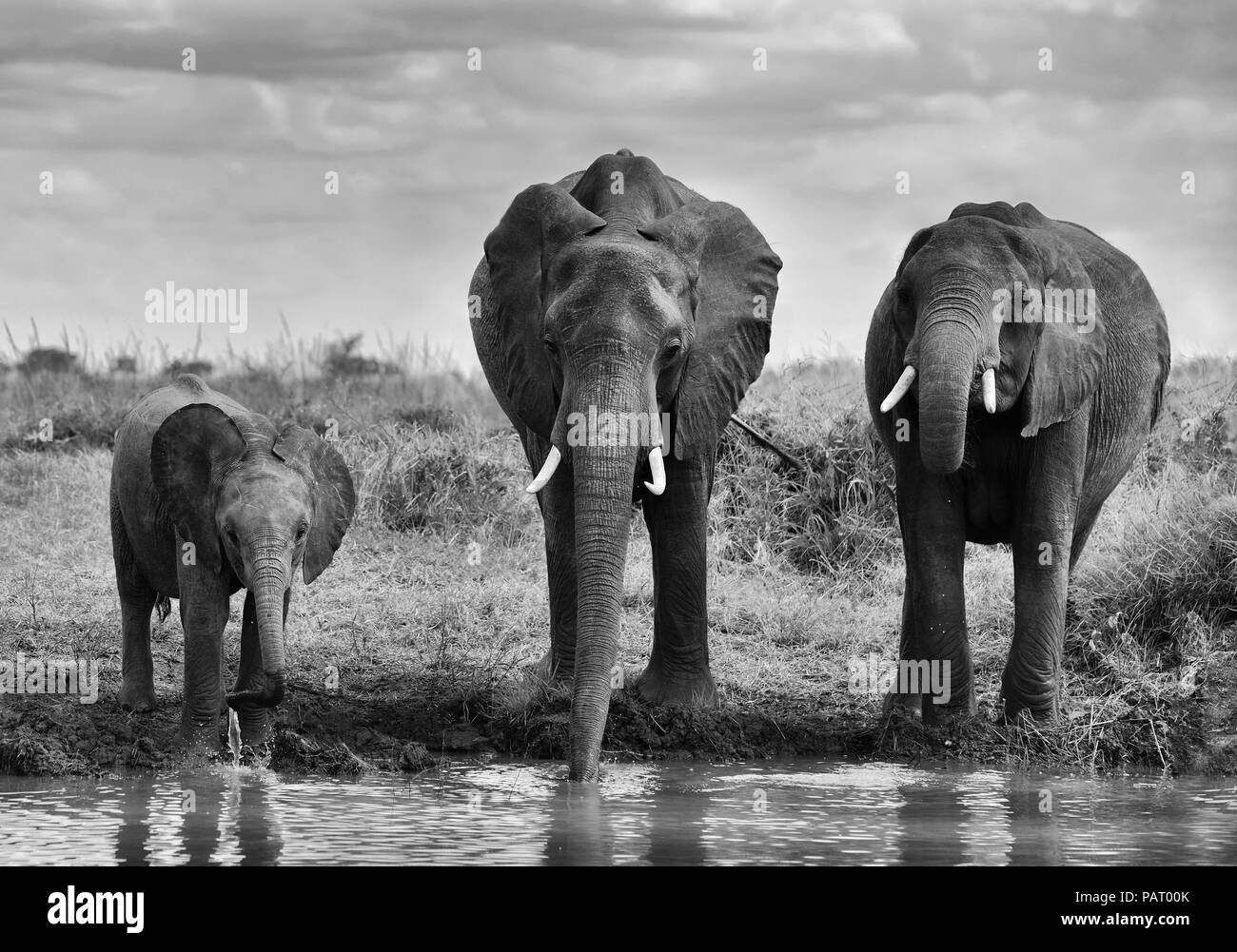 Family of elephants at the pool - Stock Image
