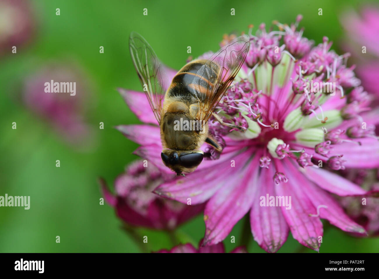 Macro shot of a bee pollinating an astrantia flower in - Stock Image