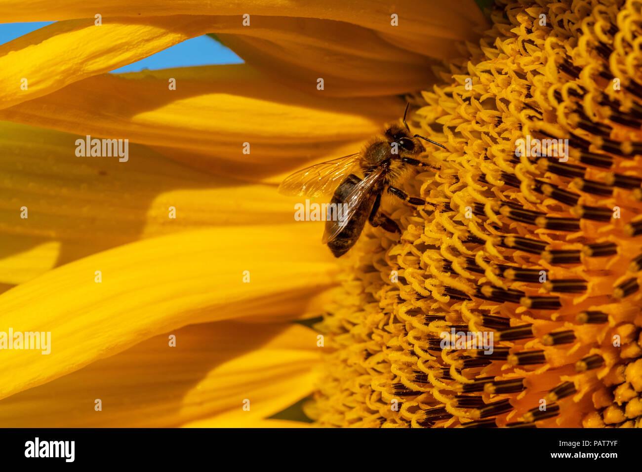 Honey Bee on Sunflower, close up - Stock Image