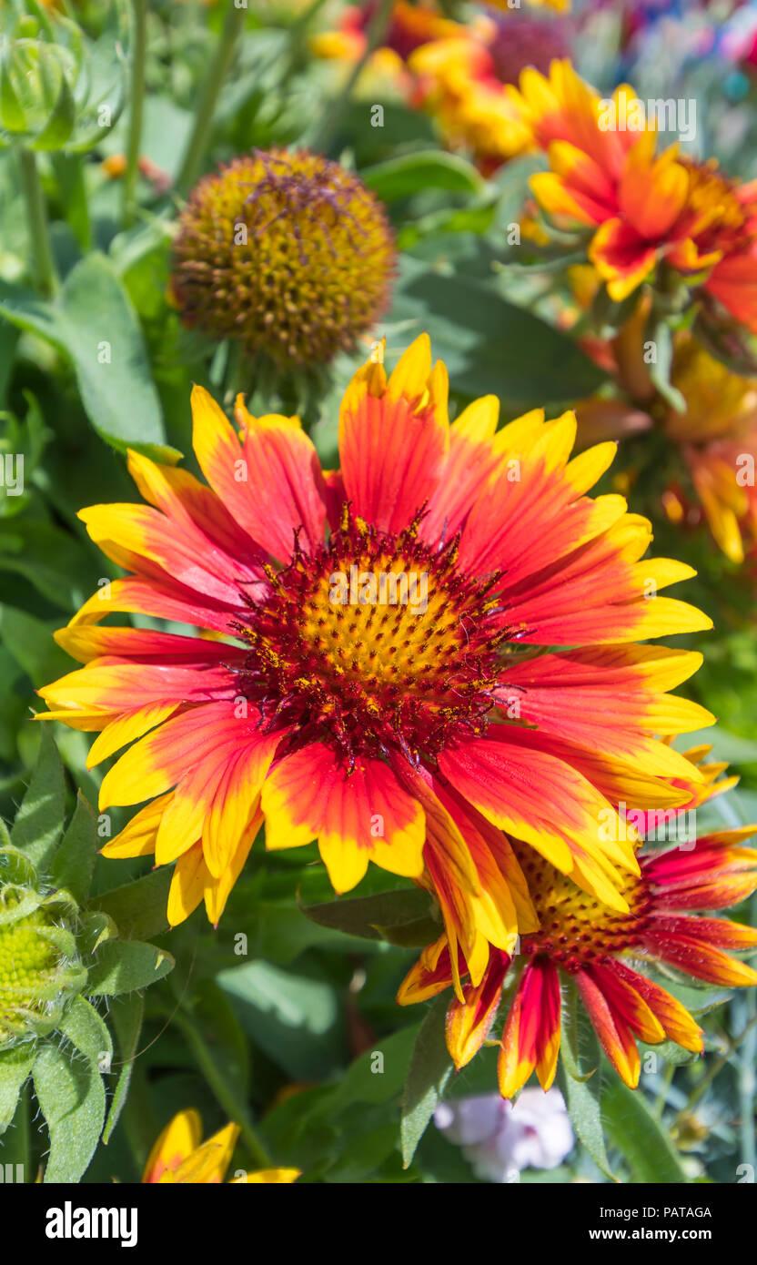 Orange And Yellow Blanket Flower Gaillardia Stock Photos Orange
