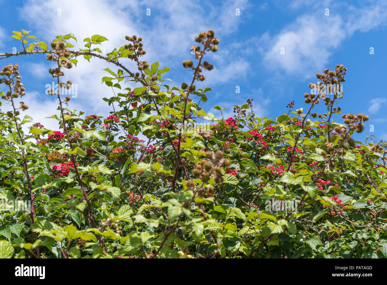 Viburnum shrub, likely Viburnum lantana (AKA the Wayfarer or Wayfaring tree) with red berries against blue sky in Summer (July)in West Sussex, UK. Stock Photo