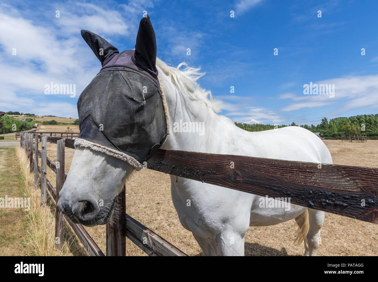 White horse in Summer looking over a fence, wearing a mesh fly veil protection mask on its head & ears to protect from flies, in West Sussex, UK - Stock Image