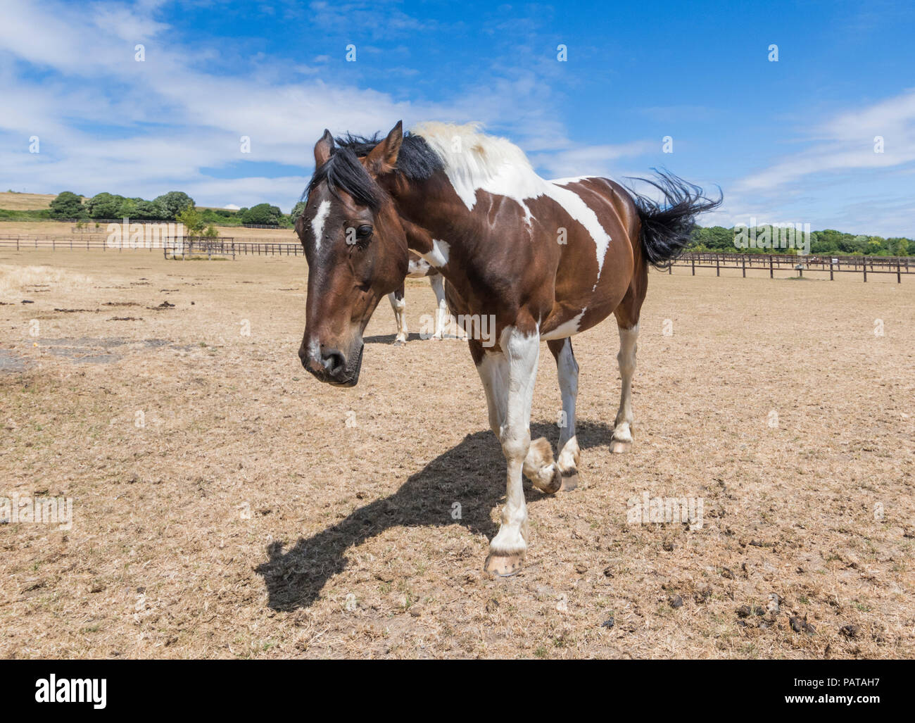 Brown horse walking in a dried up field with brown grass due to lack of rain, on a hot day in Summer in West Sussex, England, UK. - Stock Image