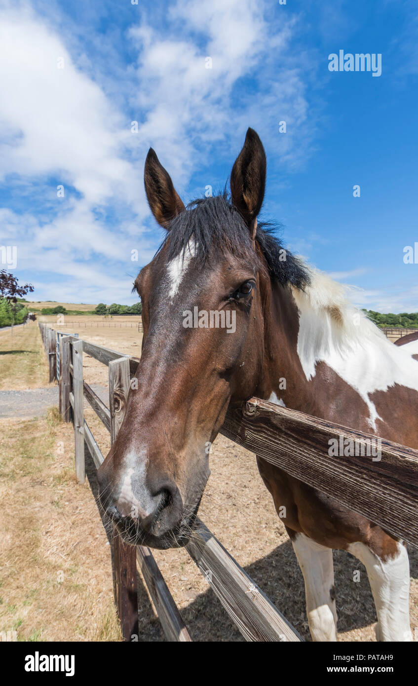 Inquisitive horse in a country field looking over a fence on a hot day in Summer in West Sussex, England, UK. Horses head Summer portrait. - Stock Image