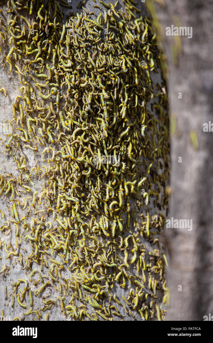 Hundreds of caterpillars infesting and stripping tree in South Africa - Stock Image