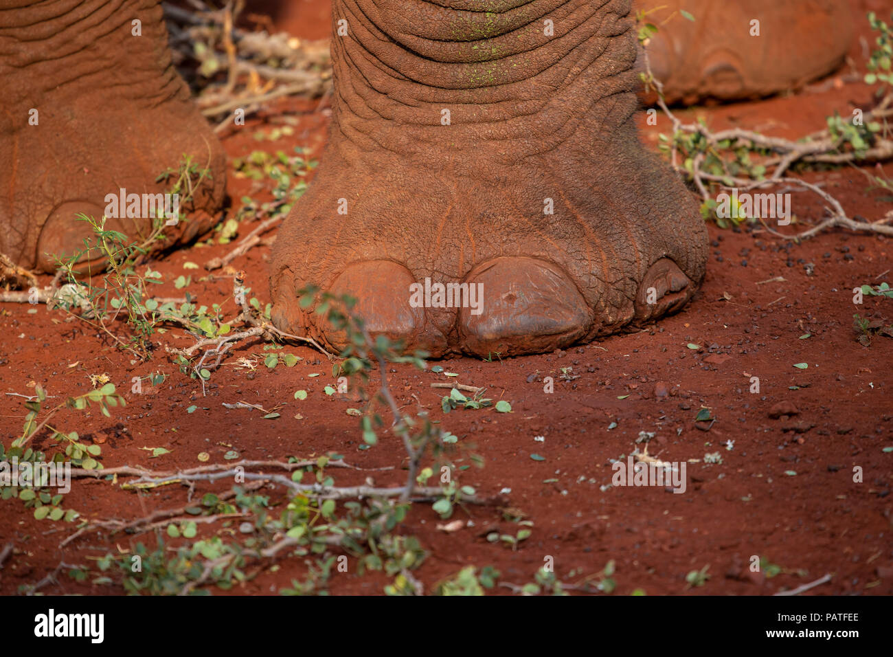 Close up of an African elephant's foot Loxodonta africana in a private game reserve in South Africa Stock Photo