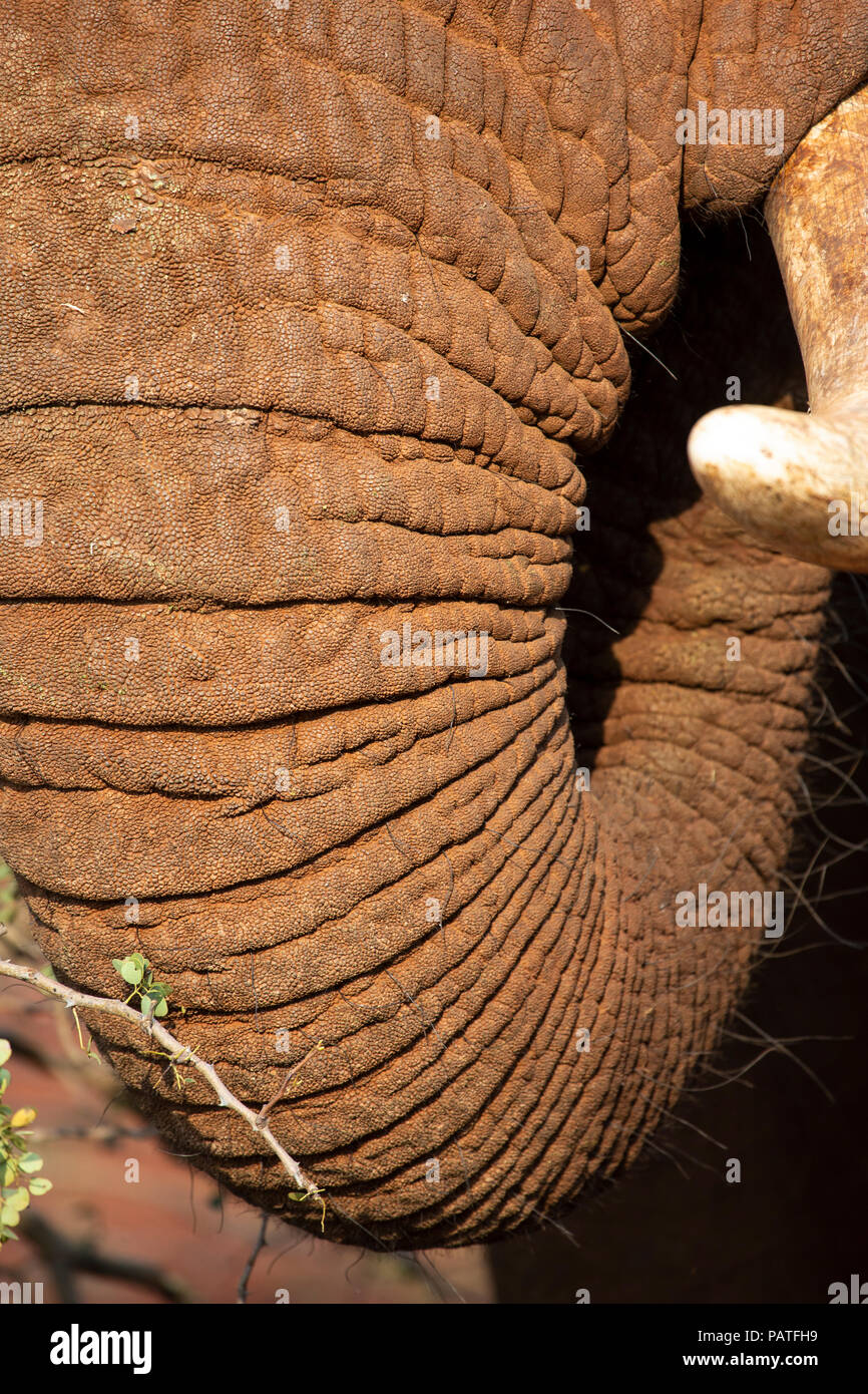 Extreme close up of an African Elephant trunk Loxodonta africana in private game reserve south Africa - Stock Image