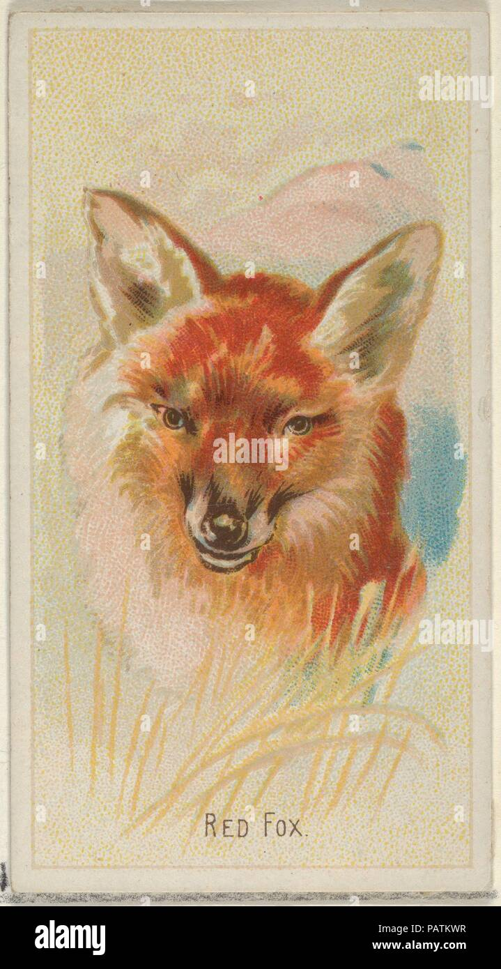 Red Fox From The Wild Animals Of The World Series N25 For Allen Ginter Cigarettes Dimensions Sheet  X  In  8 Cm