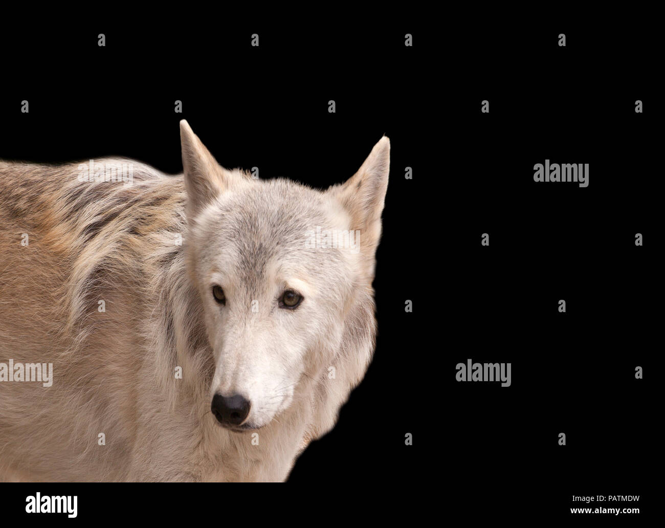 Grey wolf isolated on a black background Stock Photo