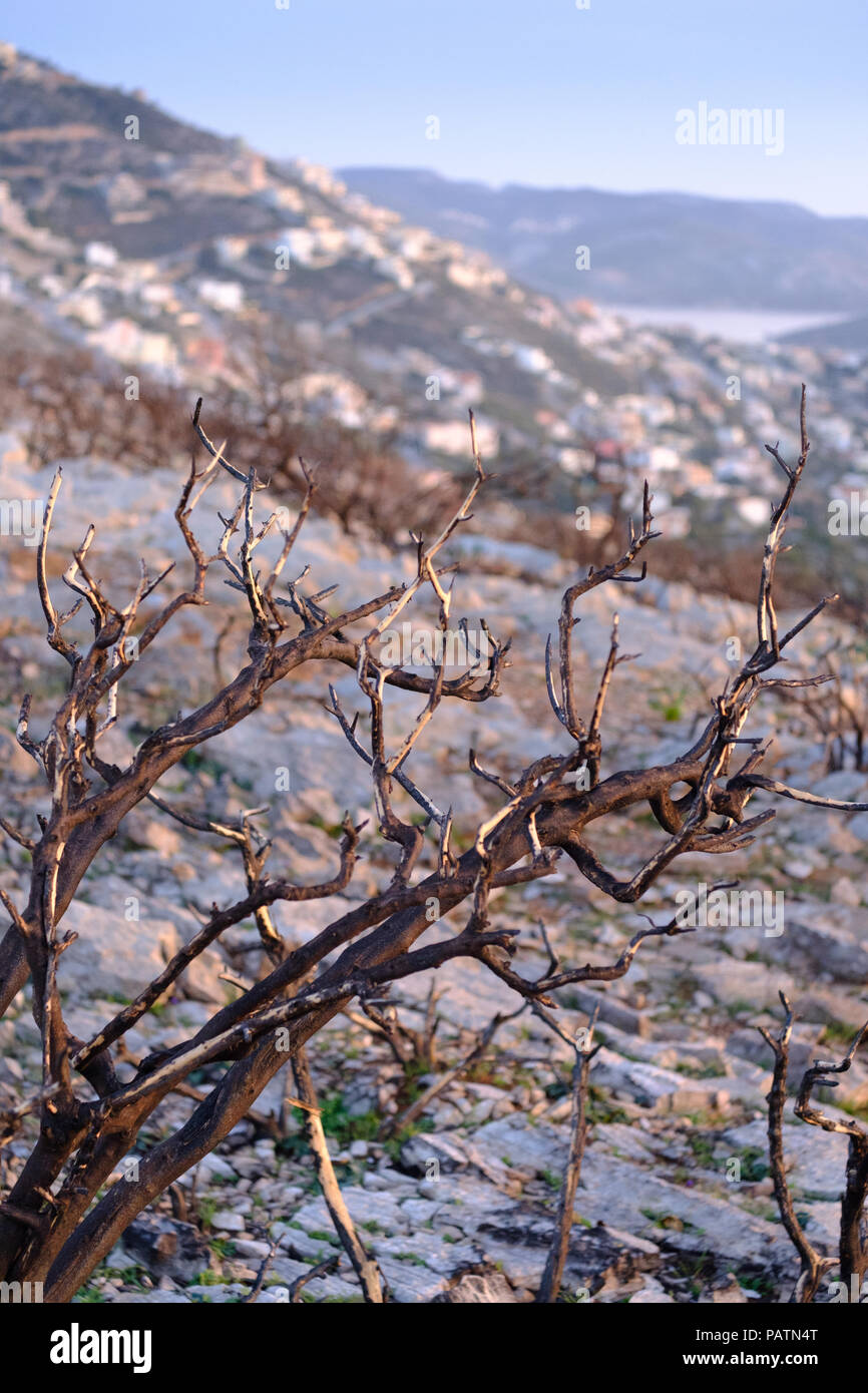Remains of tree after fire after last years wildfire across Saronida mountains during the summer heat, East Attica, Greece, Europe. - Stock Image