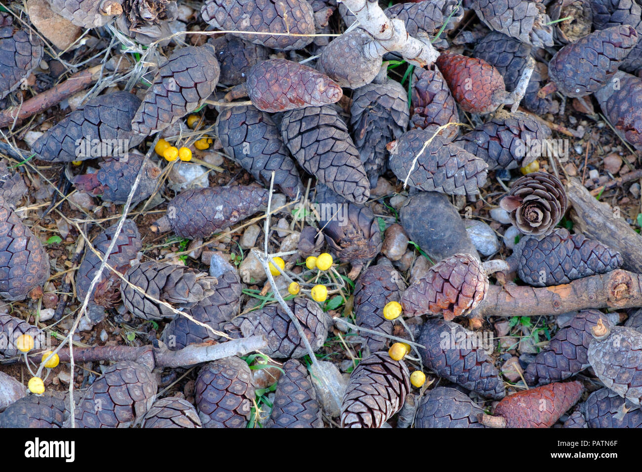 Pinecones ( κουκουνάρα ) of different colours scattered on the floor after a mountain fires clear up. Saronida, East Attica, Greece, Europe. Stock Photo