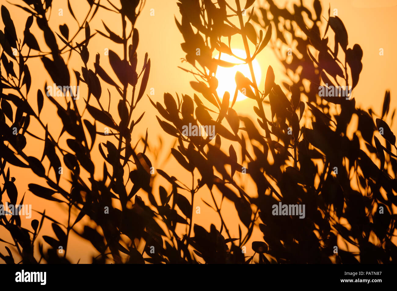 Orange Sun setting behind branches of an olive tree. Saronida, Greece, Europe. Stock Photo