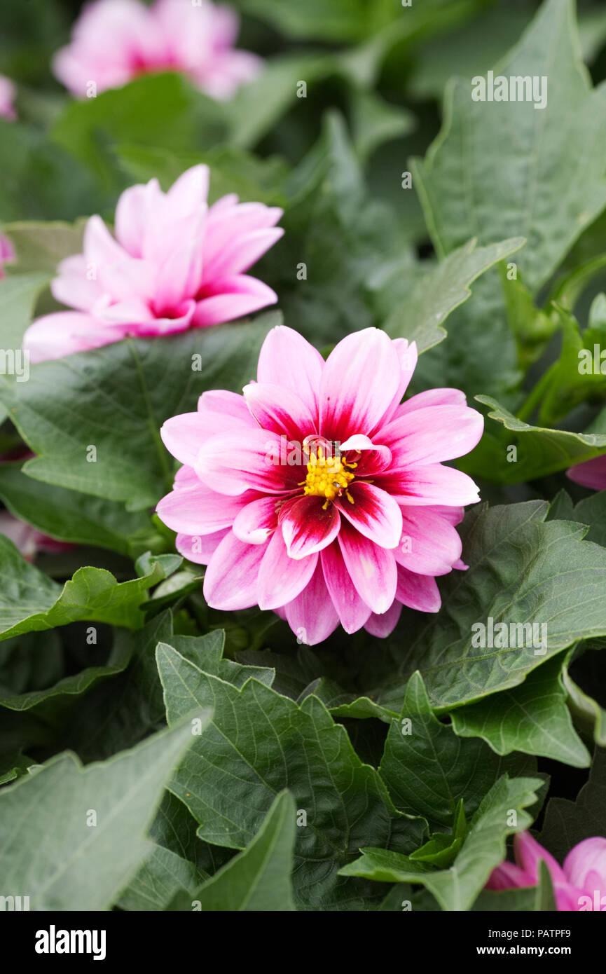 Dahlia 'Dalaya Yogi' flowers. - Stock Image
