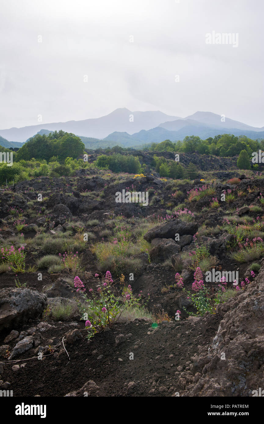 Wild flowers growing from hardened lava with Mount Etna in the background, on the northern side of the volcano, Sicily. - Stock Image