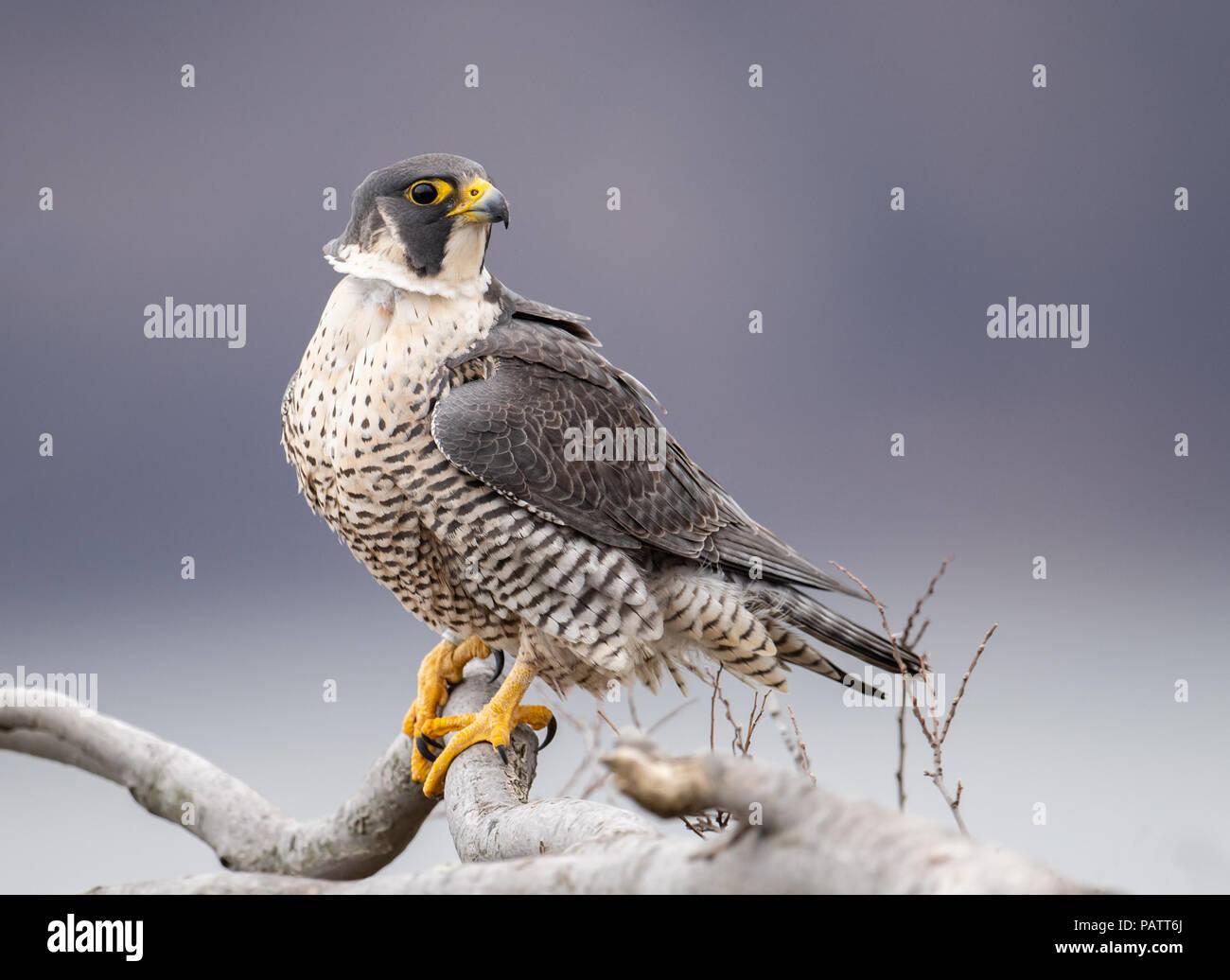 Peregrine Falcon Portrait - Stock Image