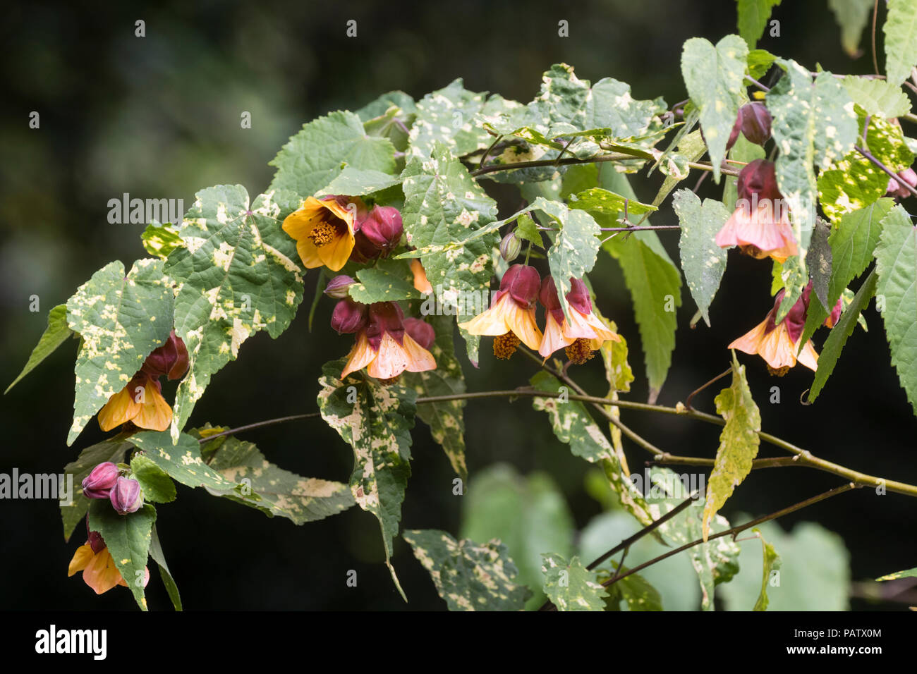Red and yellow pendant bell flowers and yellow mottle foliage of the frost tender wall shrub Abutilon x milleri 'Variegatum' - Stock Image