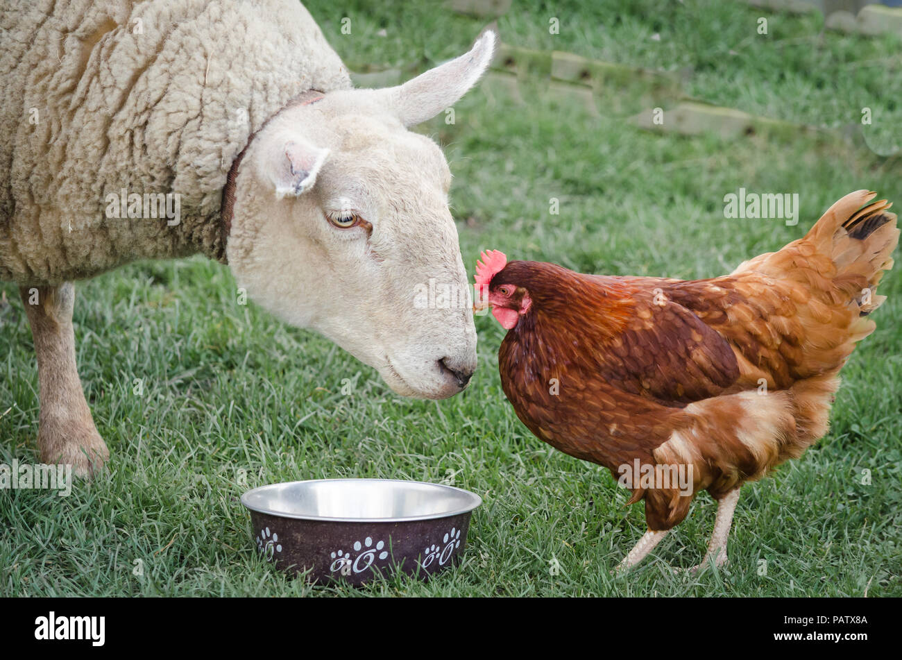 Sheep and chicken friends - Stock Image