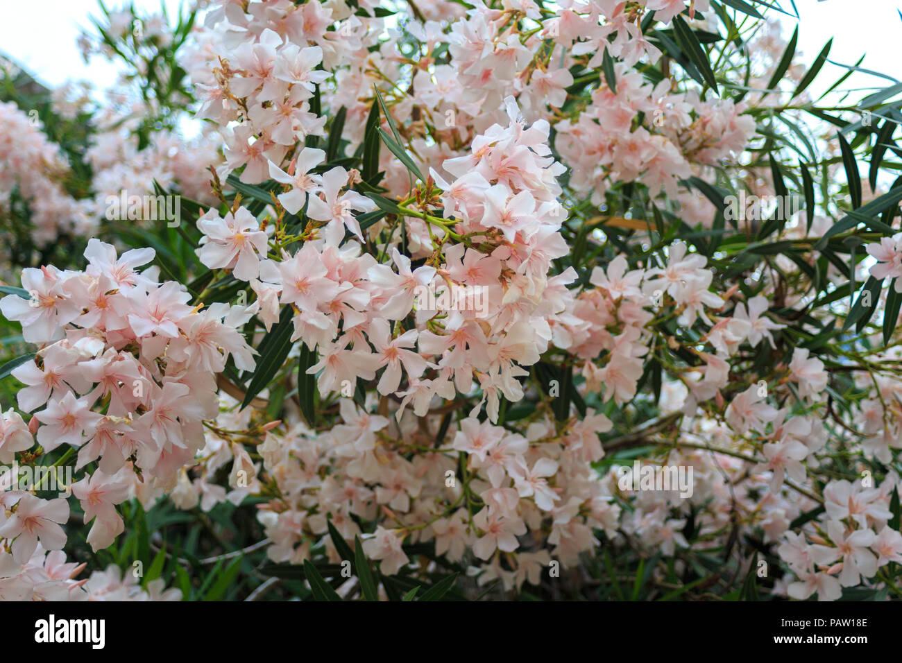 Blooming Bush Of Delicate Pink Flowers Oleander Botanic Flower