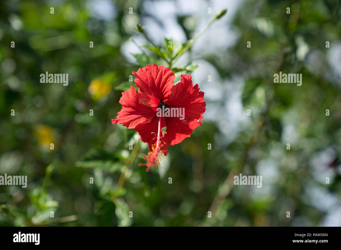 Close up view of red hibiscus flower or shoe flower on green leaves close up view of red hibiscus flower or shoe flower on green leaves bokeh background tropical garden izmirmasajfo
