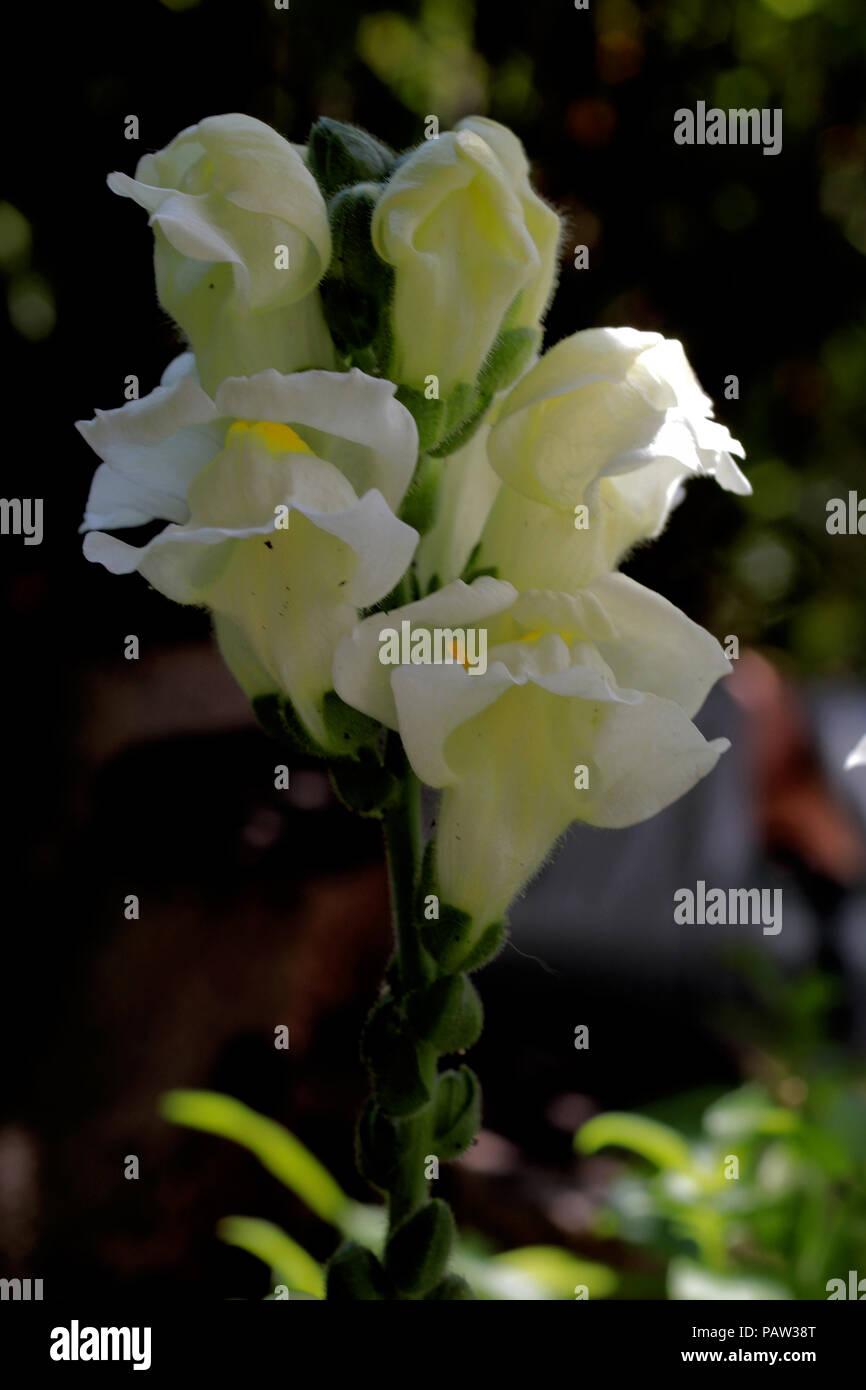 Antirrhinum majus (Löwenmaul) (Snapdragon) (Muflier à grandes fleurs) Stock Photo