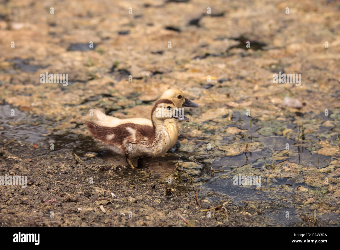 Yellow Baby Muscovy ducklings Cairina moschata in a pond in Naples ...
