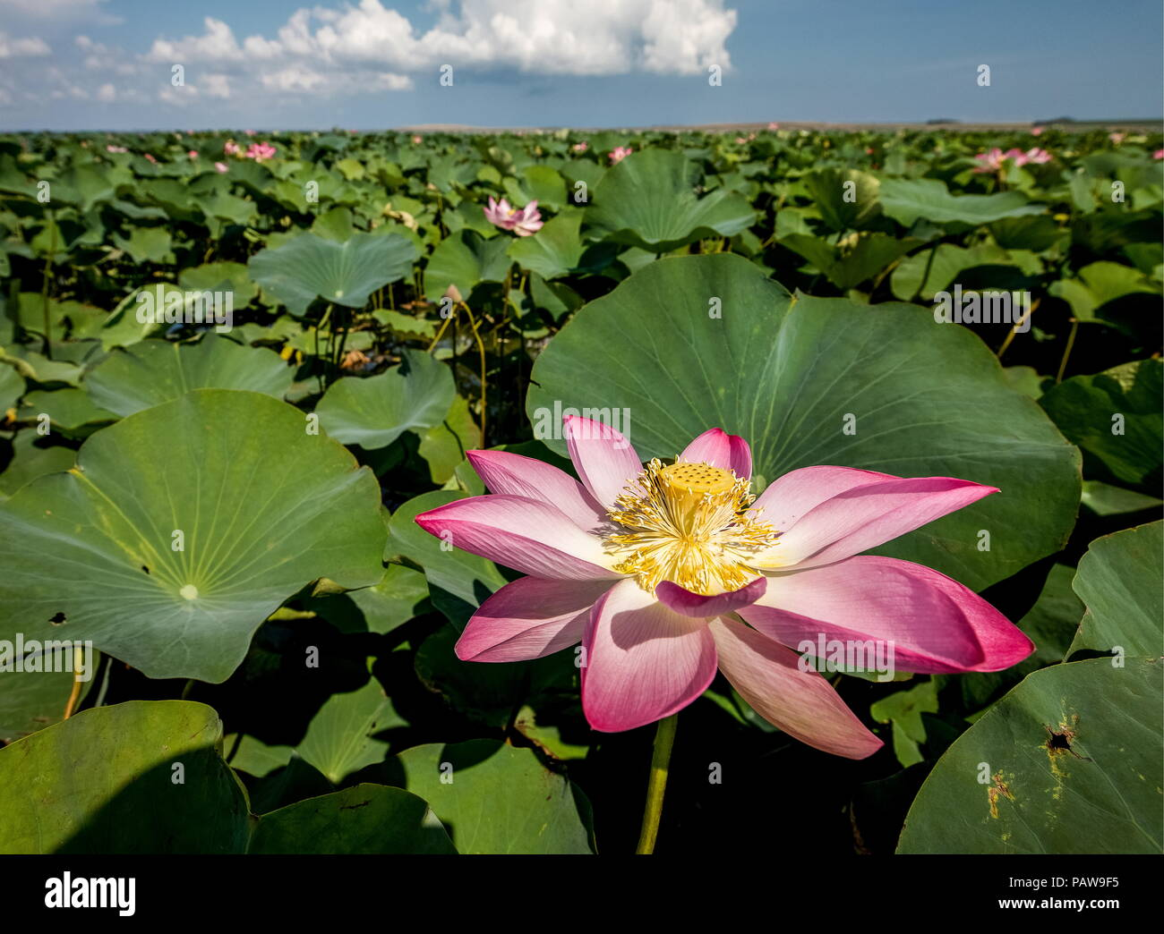 Russia 23rd july 2018 krasnodar territory russia july 23 2018 russia 23rd july 2018 krasnodar territory russia july 23 2018 lotuses in bloom in the akhtanizovsky estuary in the northern part of the taman izmirmasajfo