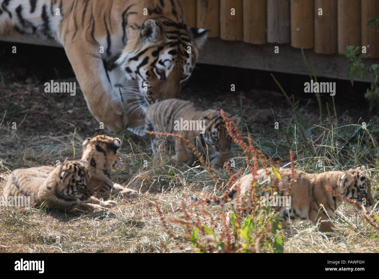 Whipsnade, UK. 25th July 2018. Four endangered Amur tiger cubs, born a month ago at ZSL Whipsnade Zoo, seen playing outside their den. Credit: amanda rose/Alamy Live News - Stock Image