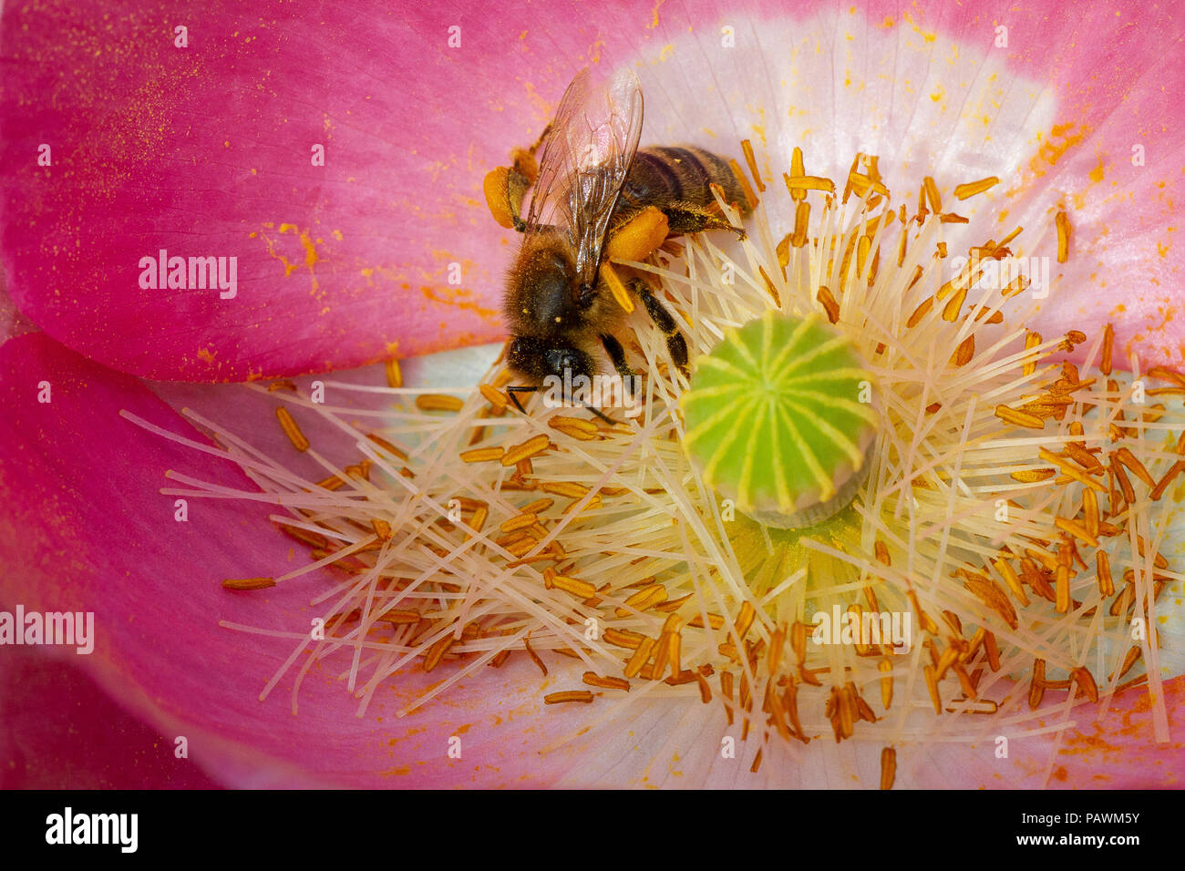 Bee gathering pollen in a pink and white poppy flower - Stock Image