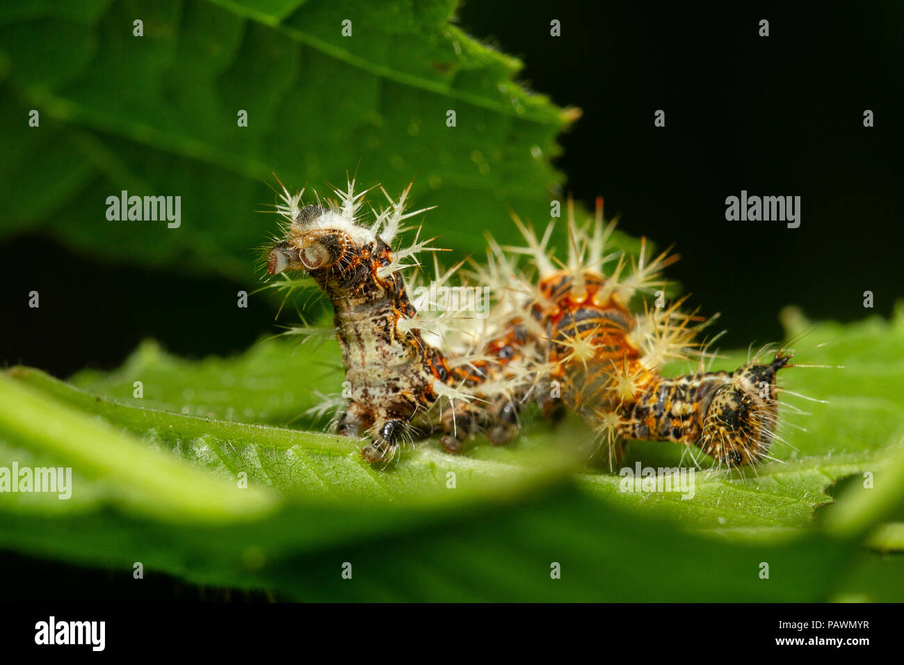 Hairy caterpillar on a leaf, macro photography - Stock Image