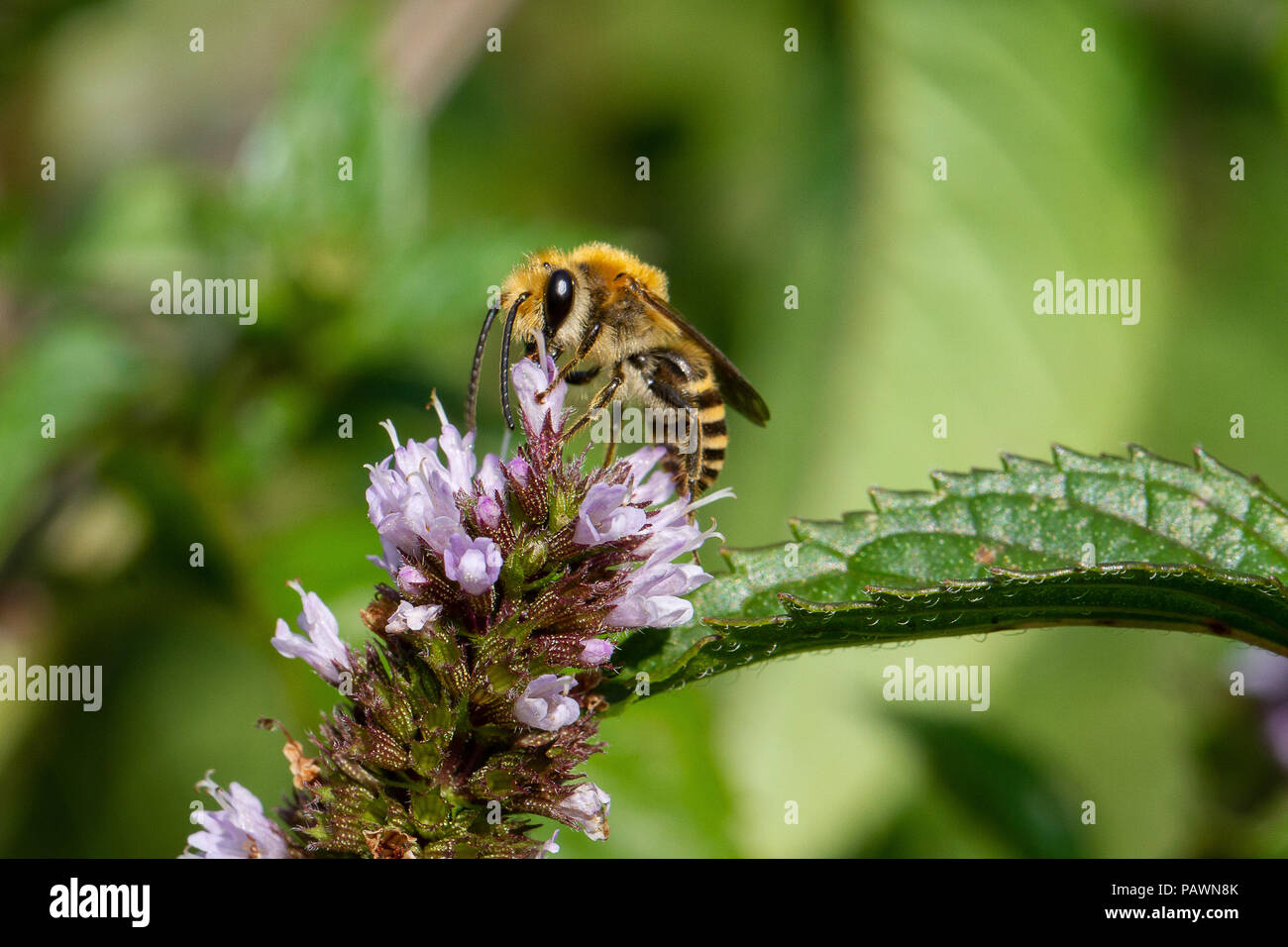Bee gathering pollen on a mint flower - Stock Image