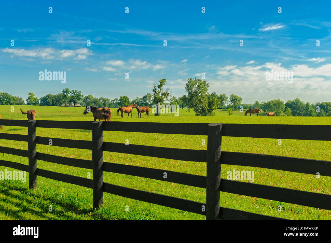 Horses on a Kentucky horse farm - Stock Image