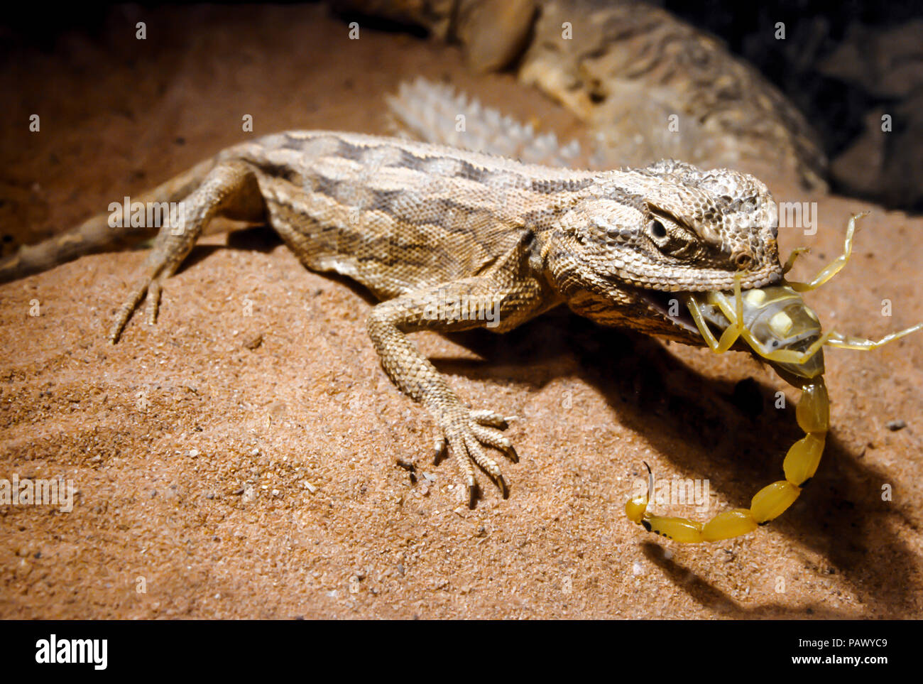 Agama Lizards Have Sticky Tongues Which Enable Them To Hold Onto