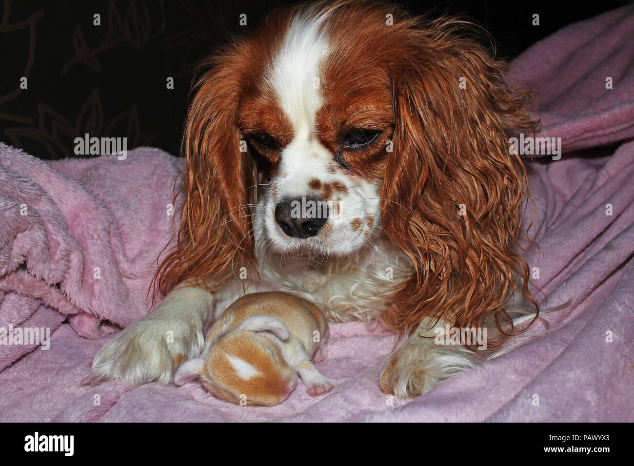 Dog And Baby Bunny New Born Rabbit Kit Cavalier King Charles Spaniel Puppy And Lop Animals Together Cute Stock Photo Alamy