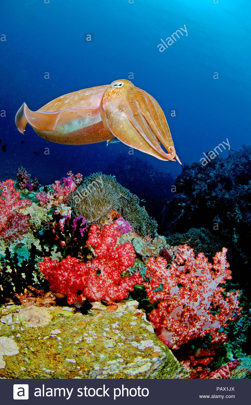 Broadclub cuttlefish (Sepia latimanus) swimming over a coral reef, Siimilan Island, Thailand - Stock Image