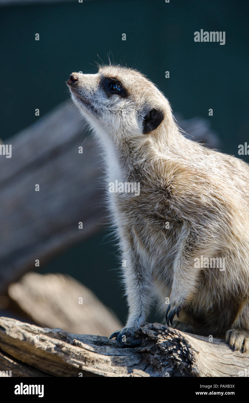 Curious meerkat on alert. Close up of meerkat on log looking up - Stock Image