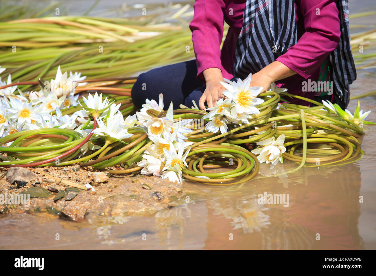 Vietnamese woman with conical hat is cleaning lilies after harvest under swamps in flood season in south of Vietnam - Stock Image